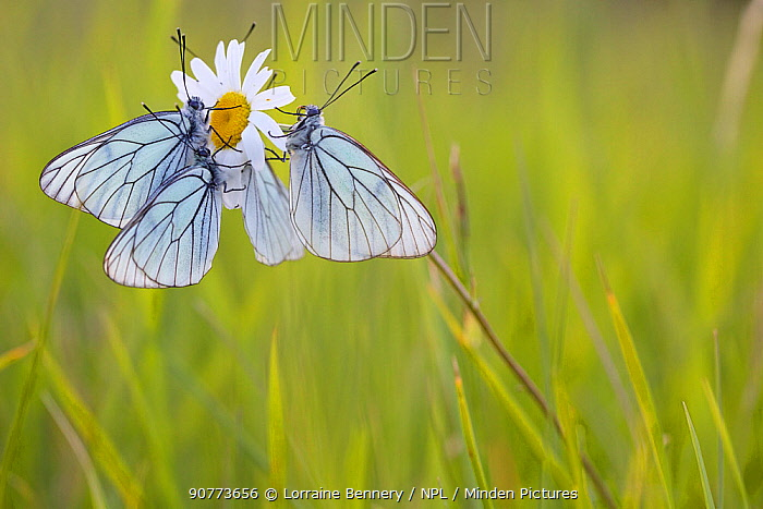 Group of Black veined white butterflies (Aporia crataegi) just after emergence, Herault, France, May.