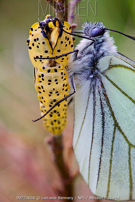 Black veined white butterfly (Aporia crataegi) just after emergence next to chrysalis, Herault, France, May.