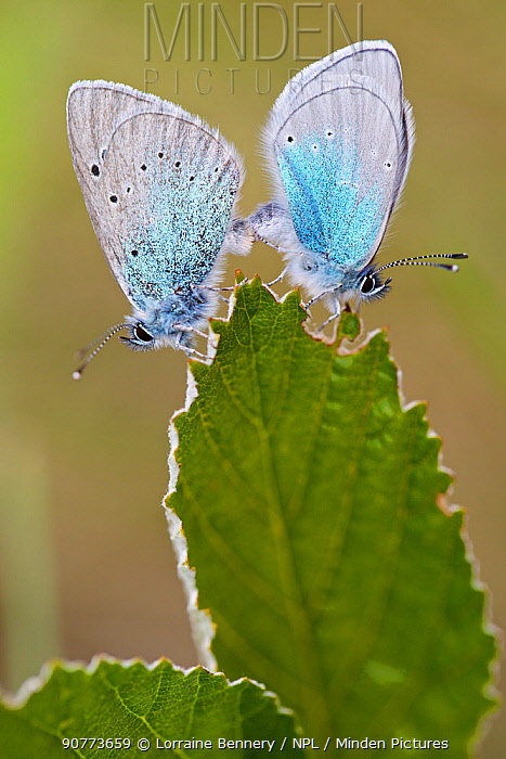 Green-underside blue butterflies (Glaucopsyche alexis) pair  mating, Herault, France, May.