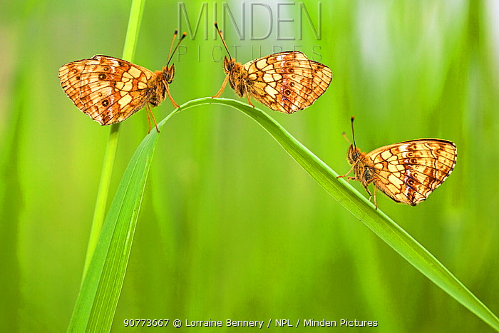 Lesser marbled fritillary butterflies (Brenthis ino) group of three, Haute-Savoie, France, June.