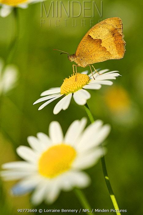 Meadow-brown butterfly (Maniola jurtina) on ox-eye daisy, Haute-Savoie, France, June.