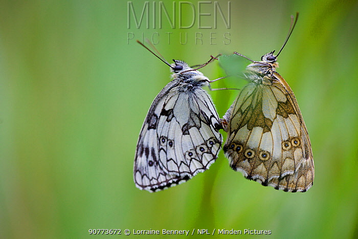 Two Marbled white butterflies (Melanagria galathea) mating, Seine-et-Marne, France, July.