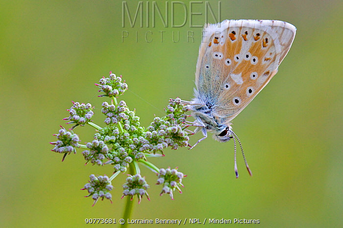 Eros blue butterfly (Polyommatus eros), Hautes-Alpes, France, July.