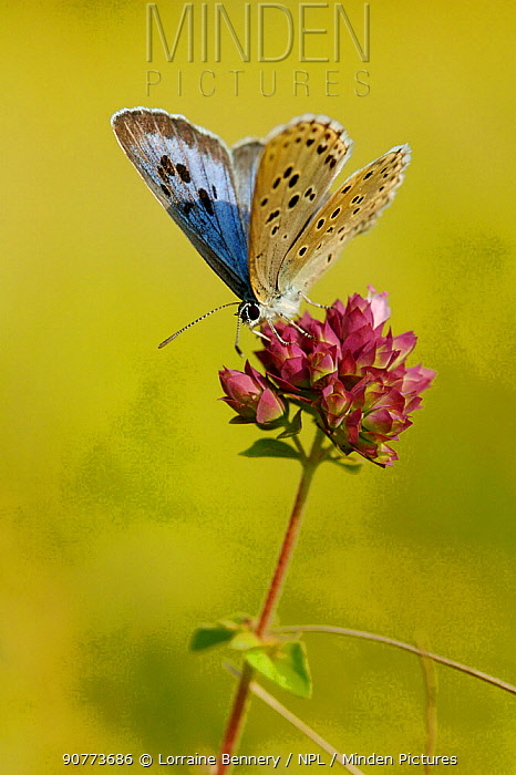 Large blue butterfly (Maculinea arion)  on flower, Indre-et-Loire, France