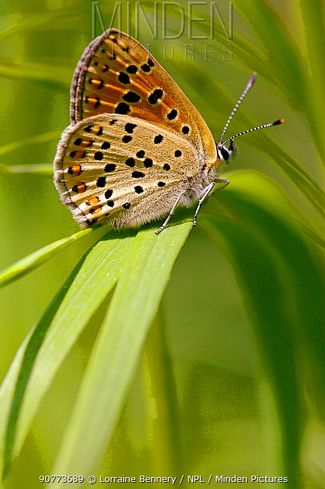 Sooty Copper butterfly (Lycaena tityrus) on grass, Indre-et-Loire, France, April.
