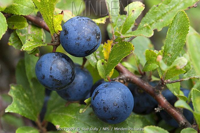 Sloes, blackthorn fruit, (Prunus spinosa), Sark, British Channel Islands, October.