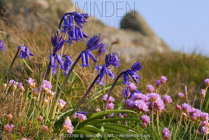 Thrift (Armeria maritima) and Bluebells (Hyacinthoides non-scropta), Sark, British Channel Islands, April.