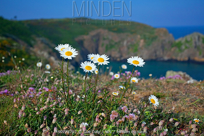Oxeye daisy (Leucanthemum vulgare). Sark, British Channel islands, May.