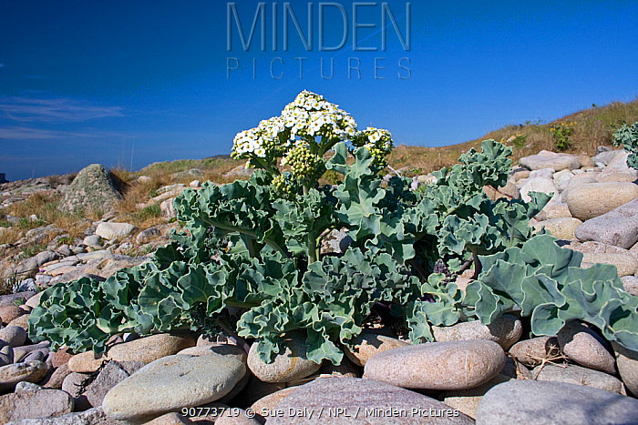 Sea kale (Crambe maritima), Alderney, British Channel Islands, May.