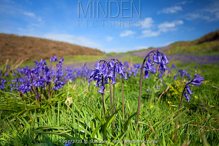 Bluebells (Hyacinthoides non-scripta) Sark, British Channel Islands, May.