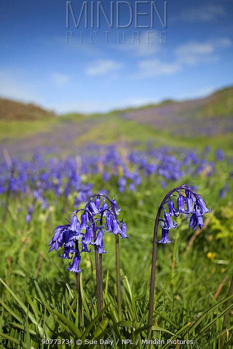 Bluebells (Hyacinthoides non-scripta) Sark, British Channel Islands, May.