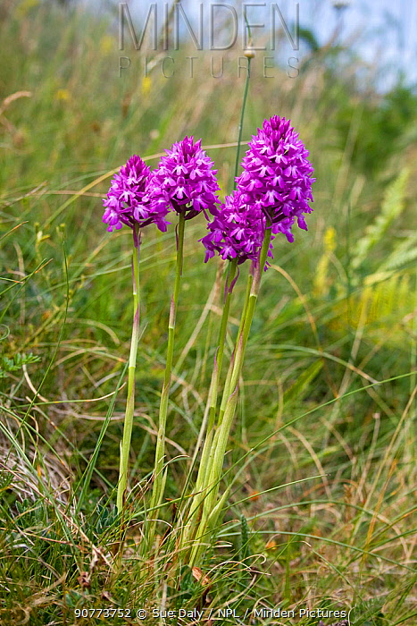 Pyramidal orchids (Anacamptis pyramidalis), Jersey, British Channel Islands, June.