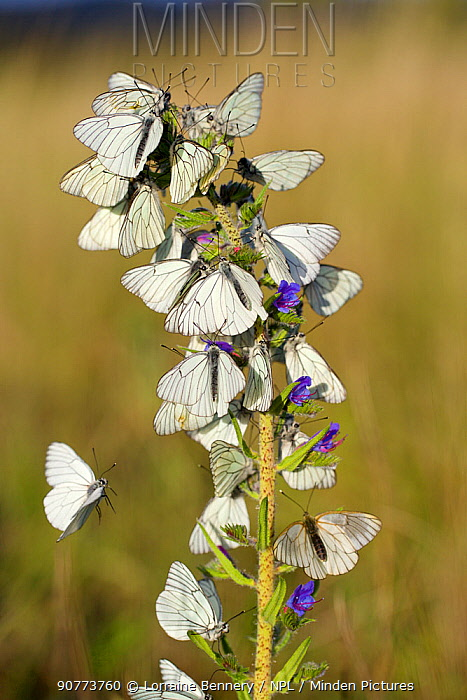 Black veined white butterflies (Aporia crataegi) group roosting on plant just after emergence, Herault, France, May.
