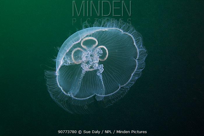 Moon jellyfish (Aurelia aurita), Trondheimsfjord, Norway, July.