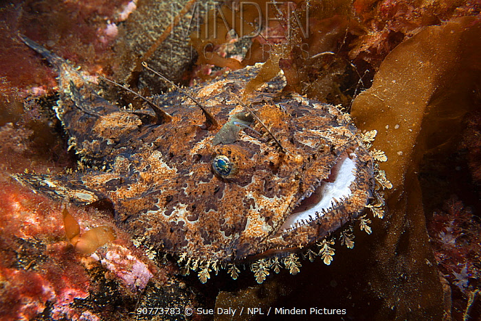 Anglerfish (Lophius piscatorius), Trondheimsfjord, Norway, July.