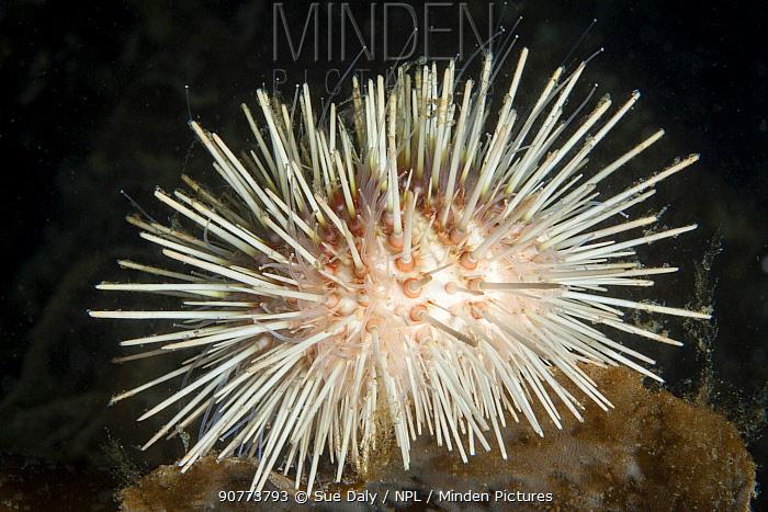 White sea urchin (Echinus acutus), Trondheimsfjord, Norway, July.