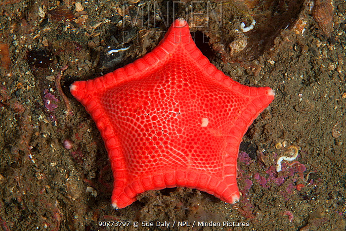 Cushion Star (Ceramaster granularis), Trondheimsfjord, Norway, July.