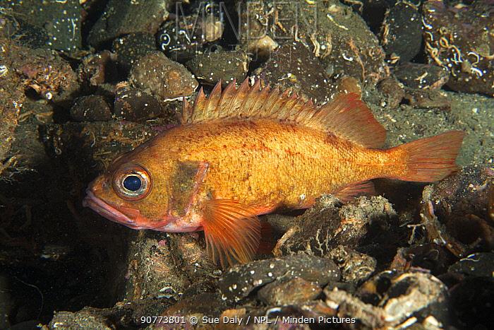 Rockfish (Sebastes norvegicus) Trondheimsfjord, Norway, July.