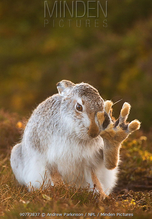 Mountain hare (Lepus timidus) grooming itself, with back foot raised, Cairngorms National Park, Scotland, UK, February.  Highly Commended in the Animal Behaviour category of the British Wildlife Photography Awards (BWPA)Competition   2017.