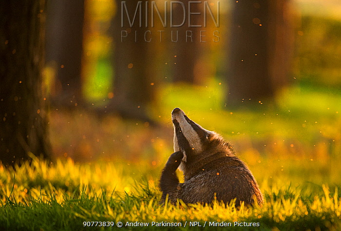 Badger (Meles meles) adult, backlit at sunset, scratching its ears, Derbyshire, UK, May. Winner of the Animal Behaviour category of the British Wildlife Photography Awards (BWPA) Competition   2017.