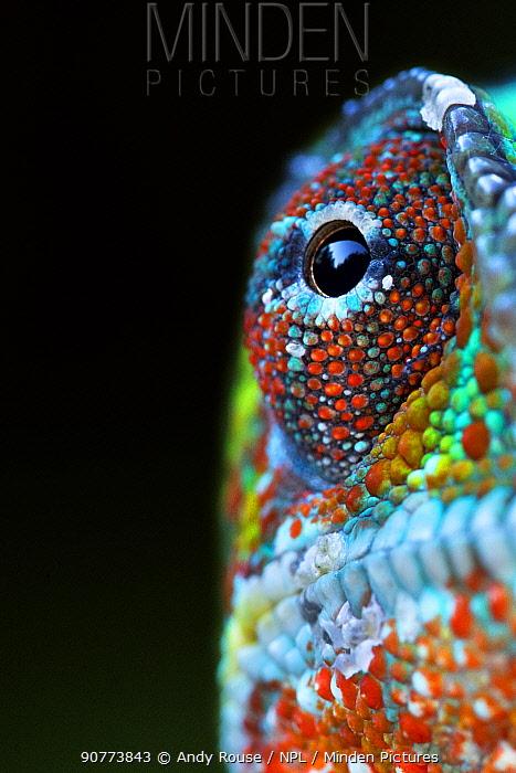 Panther Chameleon (Furcifer pardalis) male portrait, Madagascar. Controlled conditions