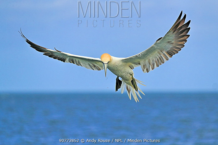 Gannet (Morus bassanus)  off Bempton Cliffs, Yorkshire, England, UK, June.