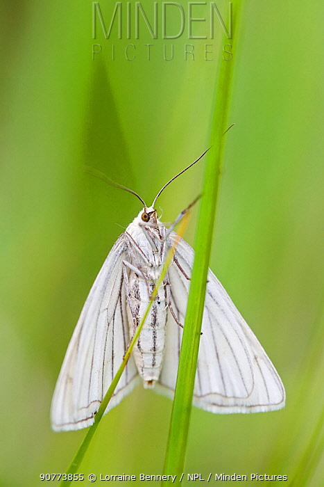 Black-veined Moth (Siona lineata), Alpes-Maritimes, France, June.