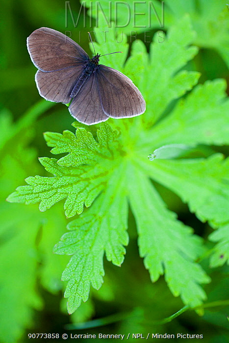 Emergence of Ringlet butterfly (Aphantopus hyperantus), Haute-Savoie, France, June.