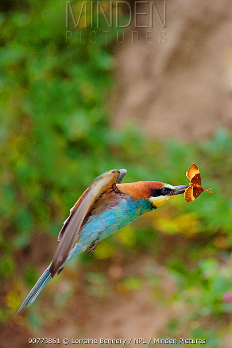 European bee-eater (Merops apiaster) in flight, with a prey Oak Eggar Moth (Lasiocampa quercus), Allier, France, July.