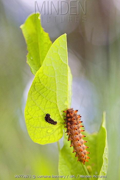 Southern Festoon butterfly caterpillar (Zerynthia polyxena), Gard, France, May.