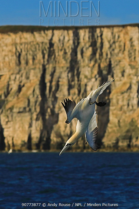 Gannet (Morus bassanus) diving, Bempton Cliffs, Yorkshire, England, UK, June.