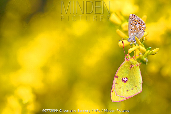 Adonis blue butterfly (Lysandra bellargus) and Berger's Clouded Yellow Butterfly (Colias alfacariensis), Hautes-Alpes, France, May.