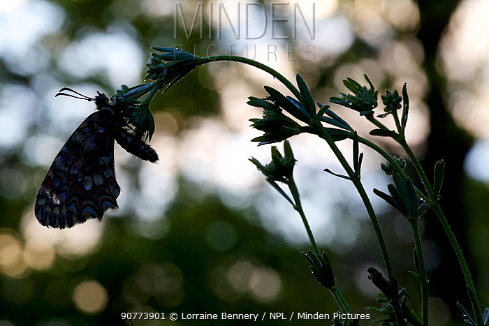 Spanish Festoon butterfly (Zerynthia rumina) silhouette, Grands Causses Regional Natural Park, France, May.