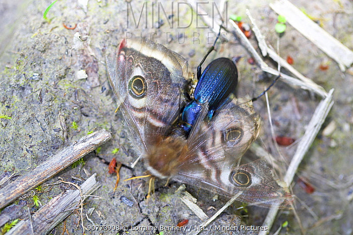 Beetle (Morphocarabus monilis)  eating Giant peacock moth (Saturnia pyri),  Isere, France, April.