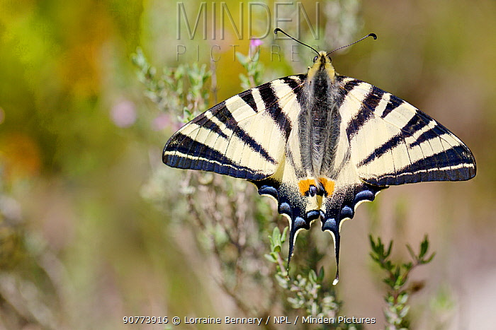 Scarce swallowtail butterfly (Iphiclides podalirius), Ardeche, France, April.