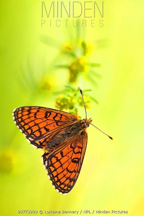 Meadow fritillary butterfly  (Melitaea parthenoides), Baronnies Provencales Regional Natural Park, France, May.