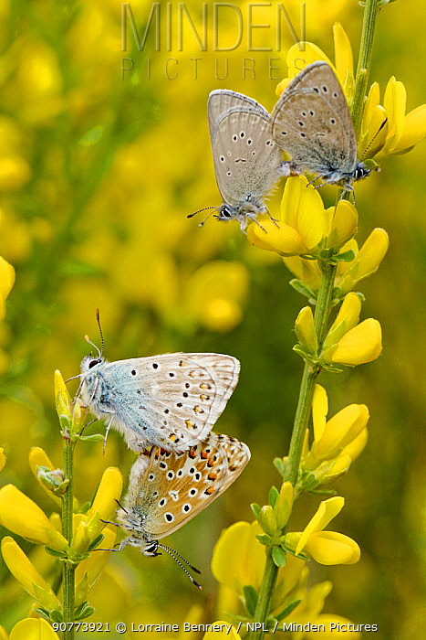 Mating pair of Small Blue Butterflies (Cupido minimus) and Chalkhill blue butterflies (Lysandra coridon) mating, Hautes-Alpes, France, May.