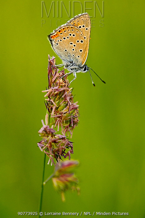 Purple-edged copper butterfly (Lycaena hippothoe), Haute-Savoie, France, June.
