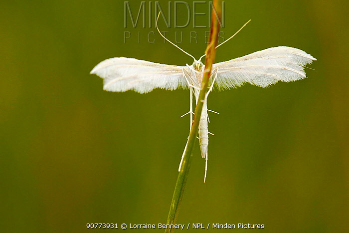 White plume moth (Pterophorus pentadactyla), Indre-et-Loire, France, May.