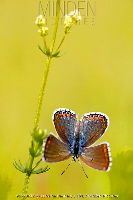 Adonis blue butterfly (Polyommatus bellargus), Grands Causses Regional Natural Park, France, June.