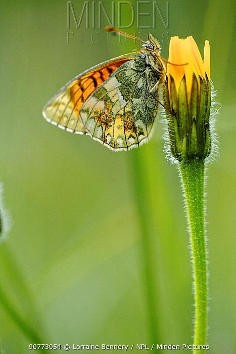 Mountain fritillary butterfly (Boloria napaea), Mercantour National Park, France, July.