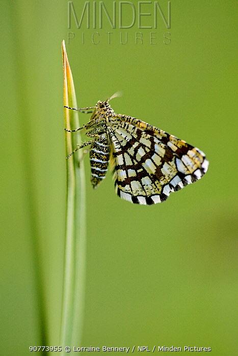 Latticed Heath moth (Chiasmia clathrata), Mercantour National Park, France, July.