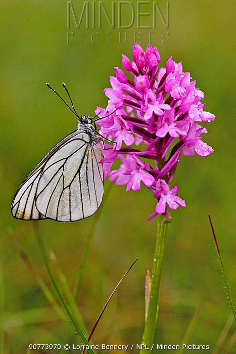 Black veined white butterfly (Aporia crataegi) resting on Pyramidal orchid (Anacamptis pyramidalis) flower, Grands Causses Regional Natural Park, France, June.