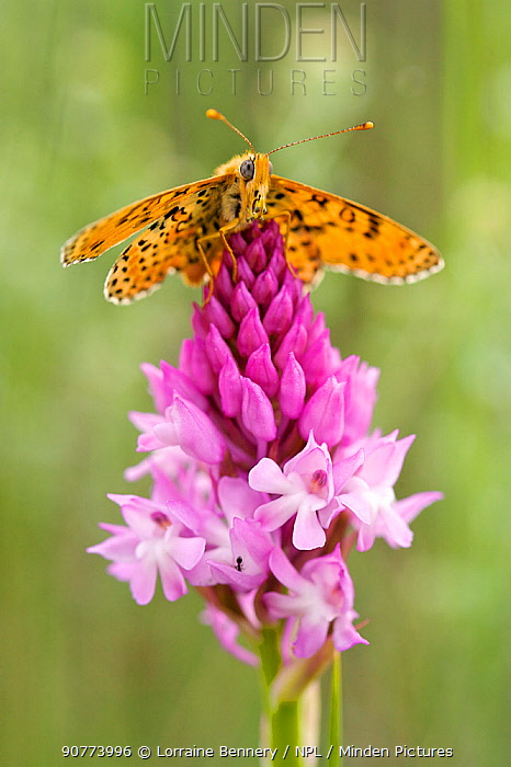 Spotted Fritillary butterfly (Melitaea didyma) resting on Pyramidal Orchid (Anacamptis pyramidalis) flower, Vaucluse, France, May.