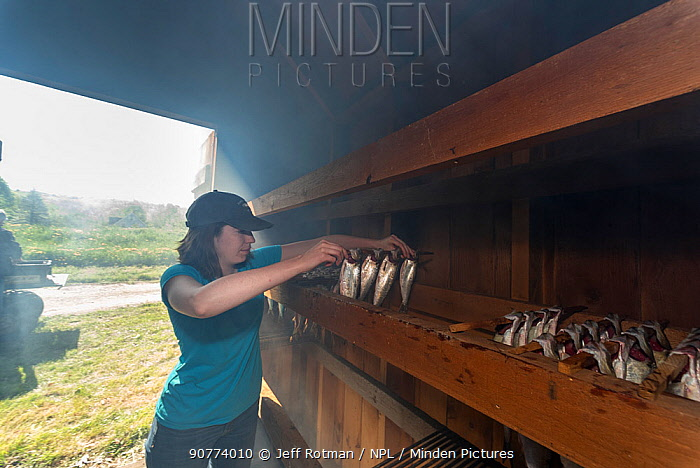 Woman placing  Alewives (Alosa pseudoharengus) in a smoker, Dresden, Maine, USA. May. Model released.