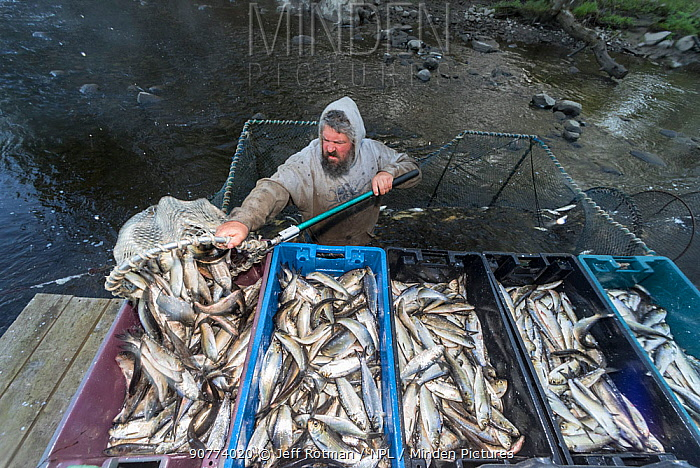 Man emptying Alewives (Alosa pseudoharengus) from a hoop net into crates during the Annual Spring Harvest, Dresden, Maine, USA. May. Model released.