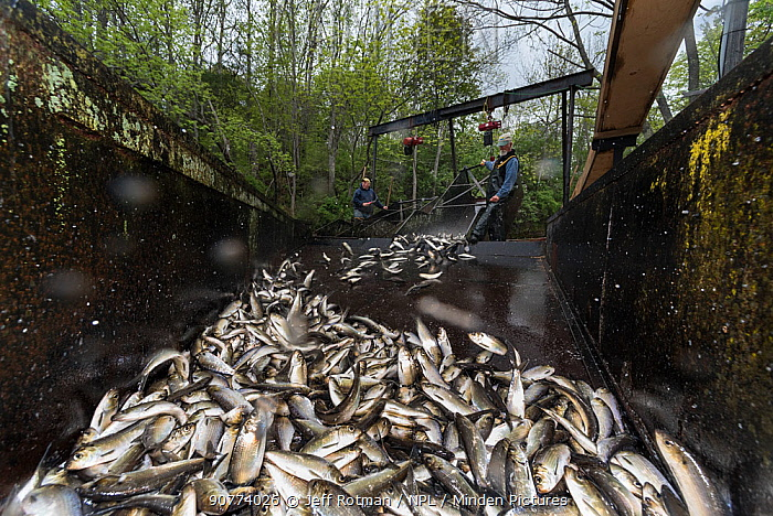 Annual Spring harvest of Alewives (Alosa pseudoharengus), Alewife Restoration Project, Damariscotta Mills, Maine, USA, May. Model released.