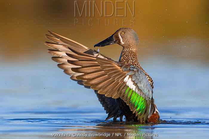 Male Australasian shoveler (Anas rhynchotis) perched in shallow water, flapping/drying wings.  Ashley River, Canterbury, New Zealand. July.