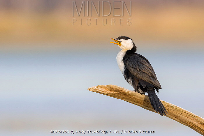 Little pied cormorant  (Microcarbo melanoleucos) perched on branch. Ashley River, Canterbury, New Zealand. July.