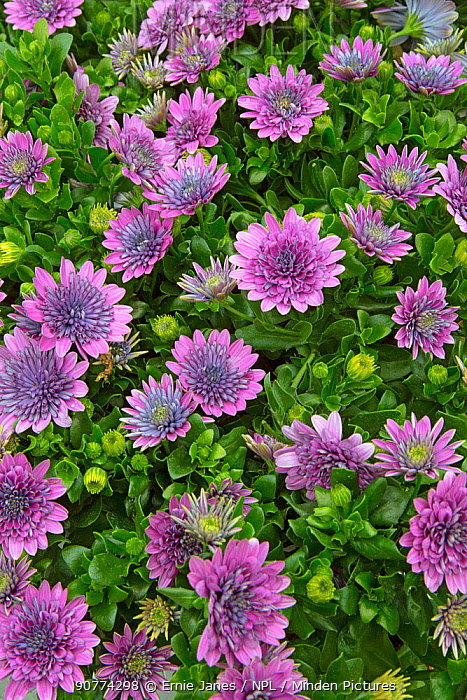African daisy (Osteospermum sp) in flower in garden.  England, UK.